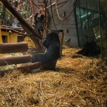 Zoo Zurich goryl